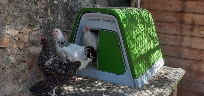 Les poulettes varoises