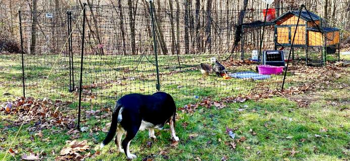 Omlet fence as run with poultry netting. Billy guards his hens.