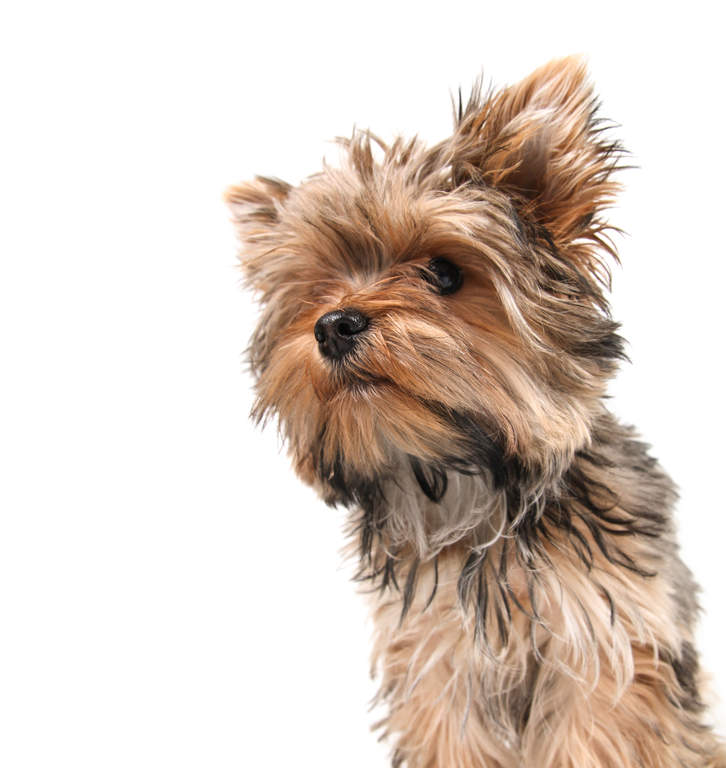 Yorkshire Terrier Dogs Breed Information Omlet