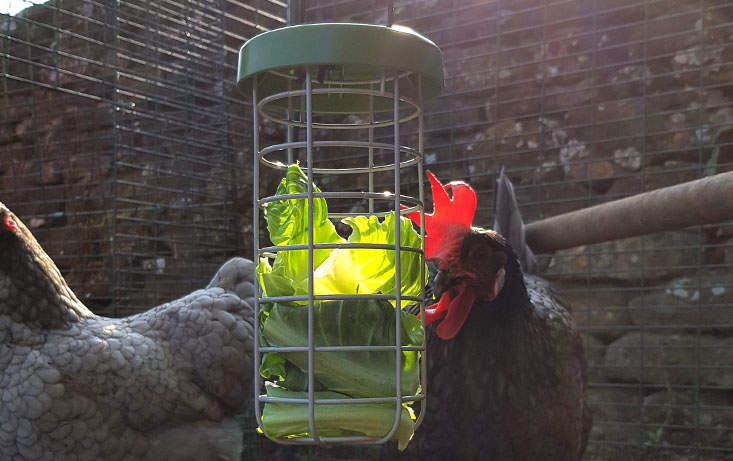 The feeder gently swings as the food is pecked, creating a fun and engaging challenge for your chickens