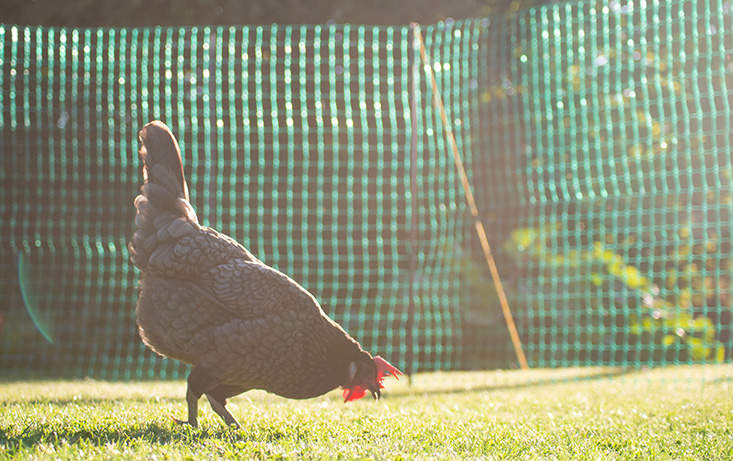 The poultry fencing is ideal for keeping your chickens within a certain area of your backyard