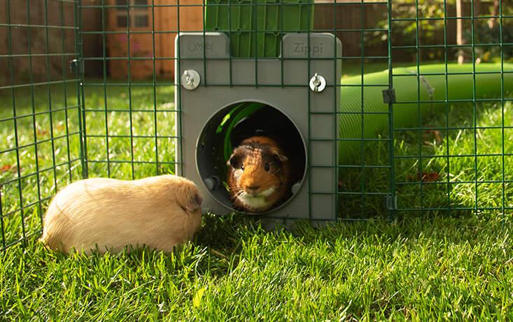 Un cochon d'Inde rejoint son ami dans le parc grâce à l'ingénieux Tunnel Zippi