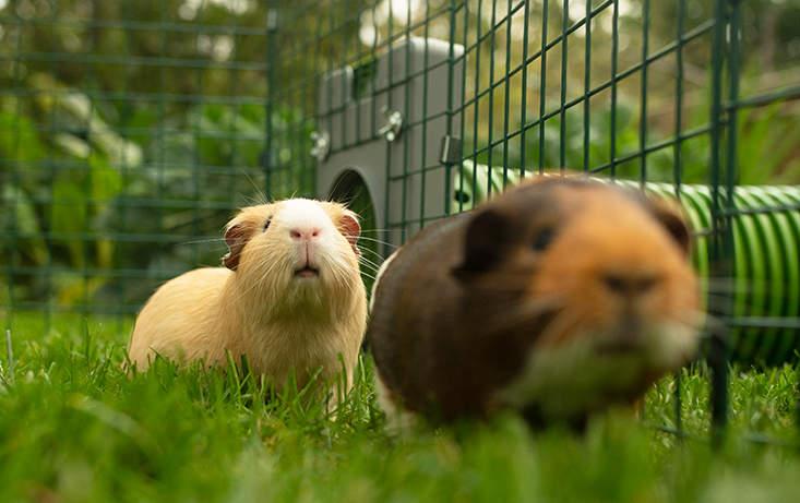 Deux cochons d'Inde qui jouent dans leur galerie de tunnels Zippi