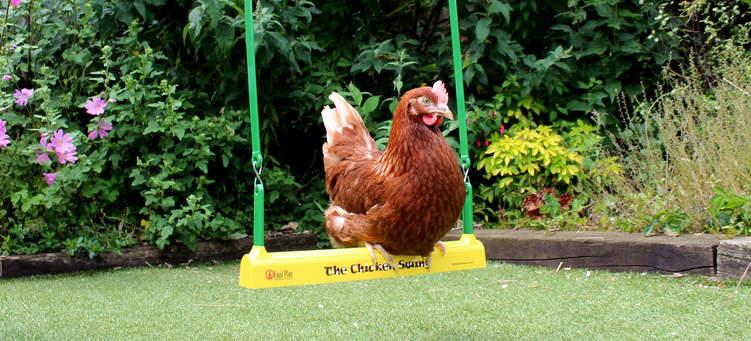 A Gingernut Ranger perching on The Chicken Swing in the garden