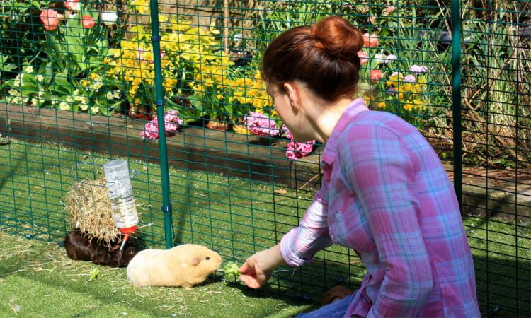Feeding guinea pigs inside the outdoor run