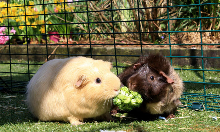 A pair of guinea pigs sharing some broccoli in their outdoor run