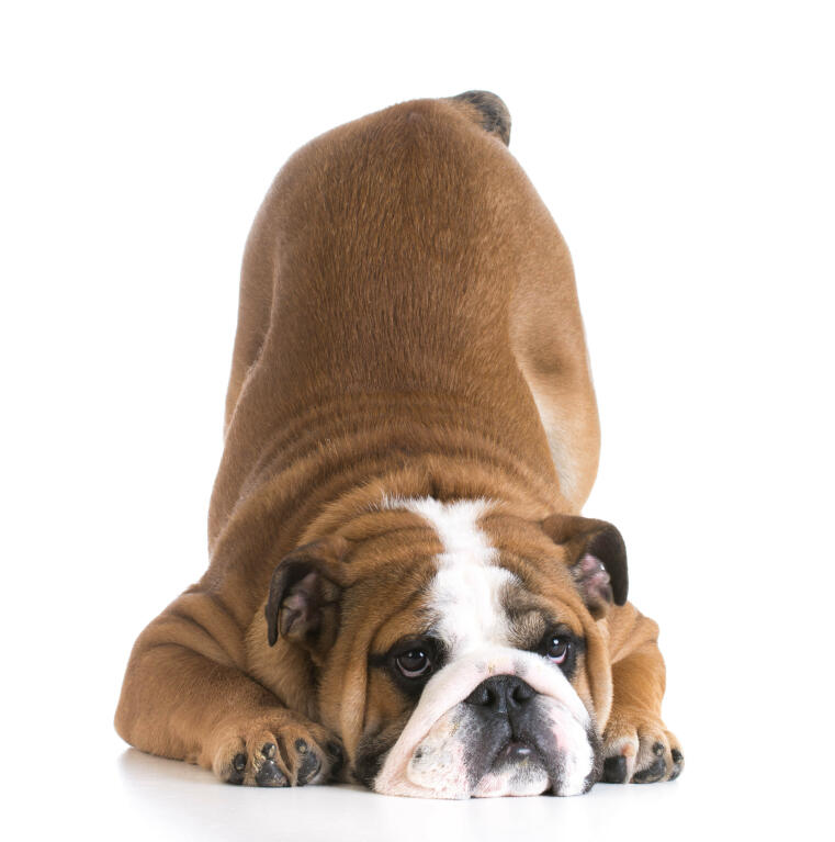 Simple Bulldog Brown Adorable Dog - Dog-Bulldog-the_adorable_wrinkly_faced_bulldog_bowing_down  Image_499012  .jpg