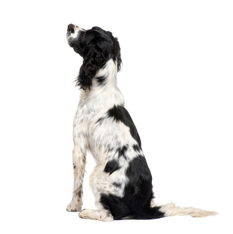 Black english picture springer white 8