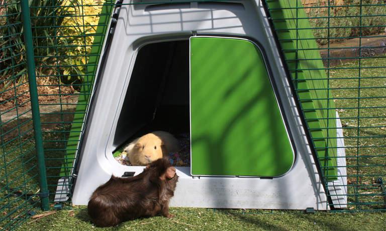 Świnki mogą dowolnie krążyć między swoim domkiem i wybiegiem Eglu Go Hutch