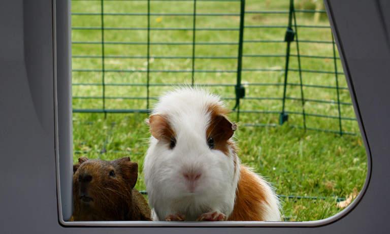 Świnki mogą wchodzić i wychodzić z domku, kiedy tylko zapragną