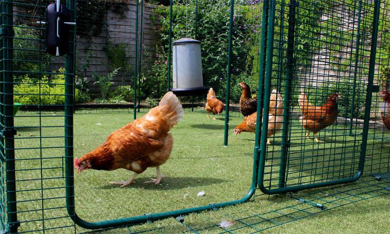 Des poules qui picorent dans leur grand enclos spacieux