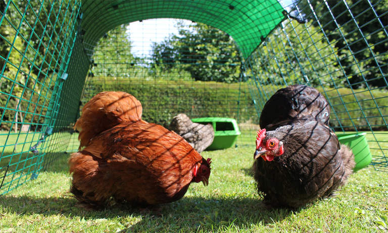 Bantams roaming in the roomy Eglu Go Run