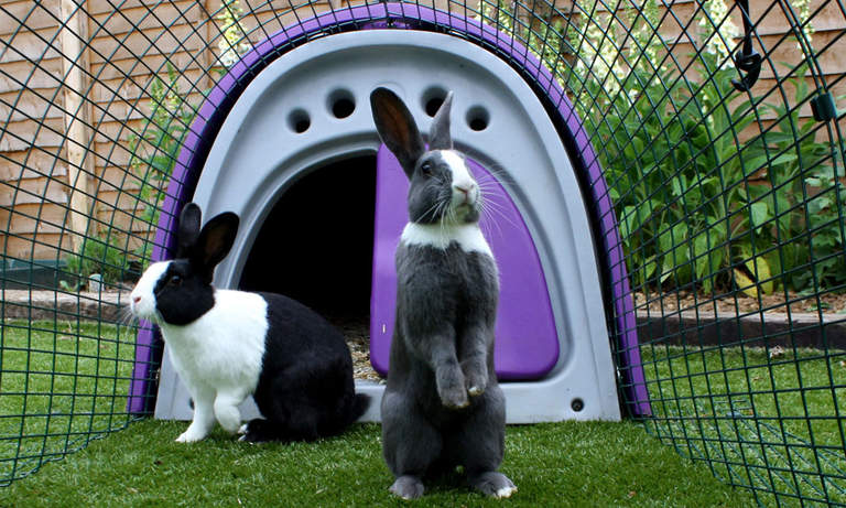 Bay and Basil enjoying their Eglu Classic Rabbit Hutch