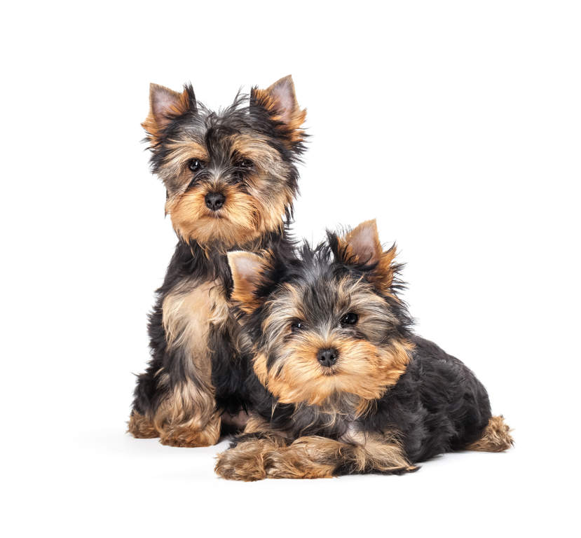 yorkie terrier breeds yorkshire terrier dogs breed information omlet 4470