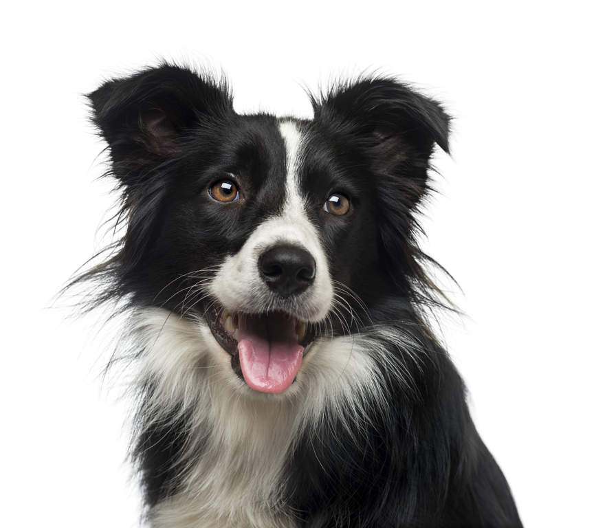border collie dogs breed information omlet