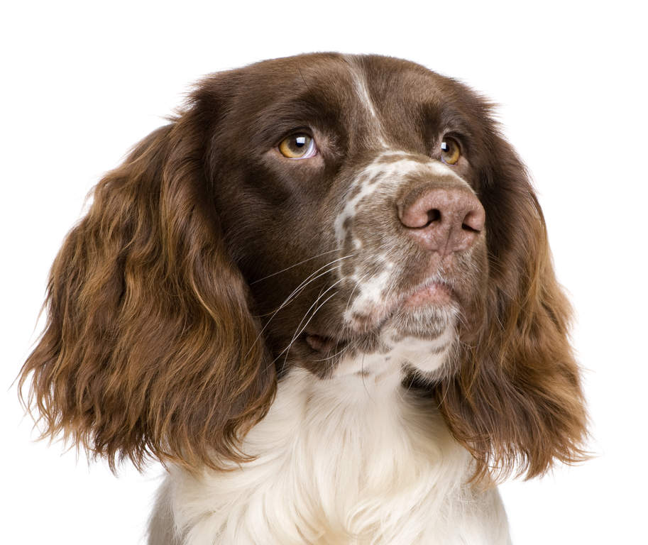 springer spaniel english dogs breed information omlet