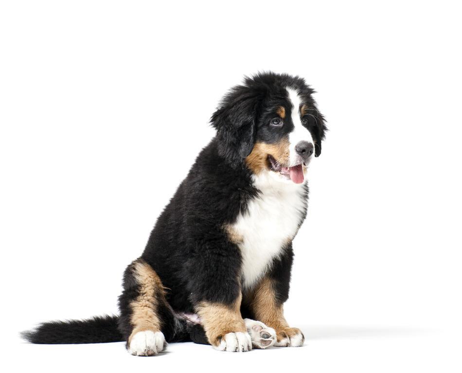 Sheltie Rescue Dogs Uk