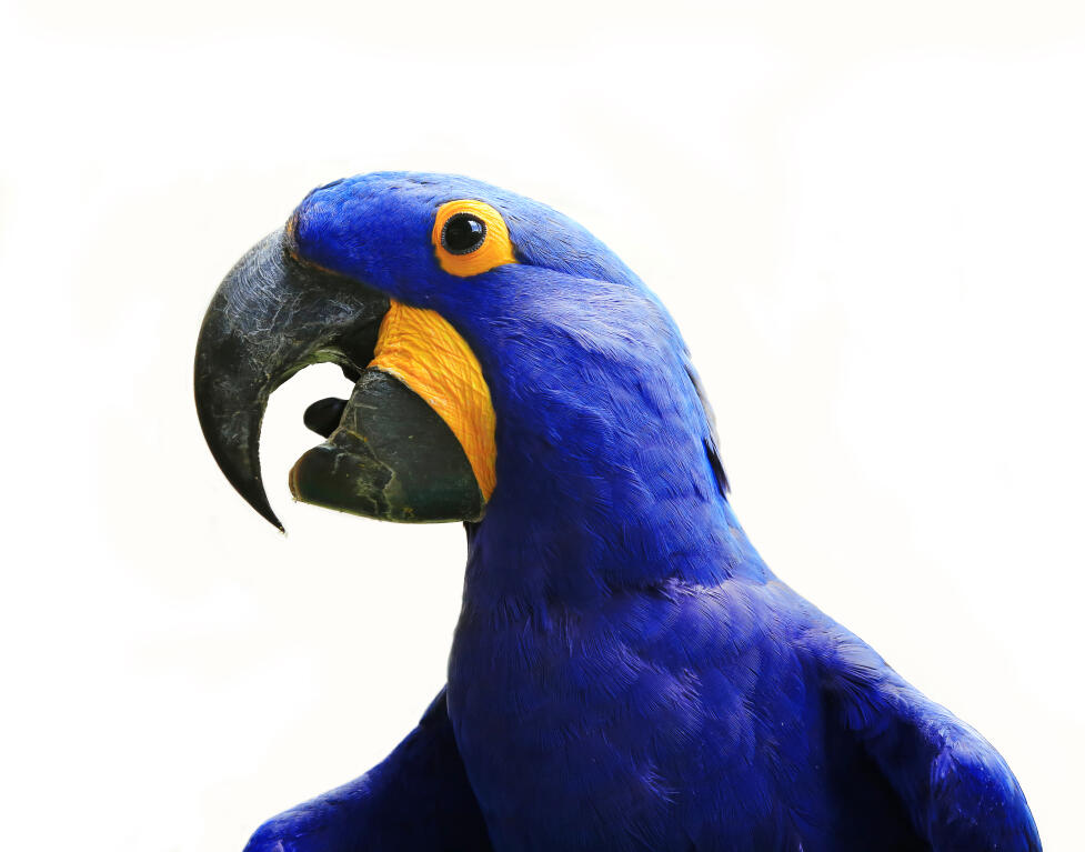 Hyacinth Macaw Parrots Breed Information Omlet