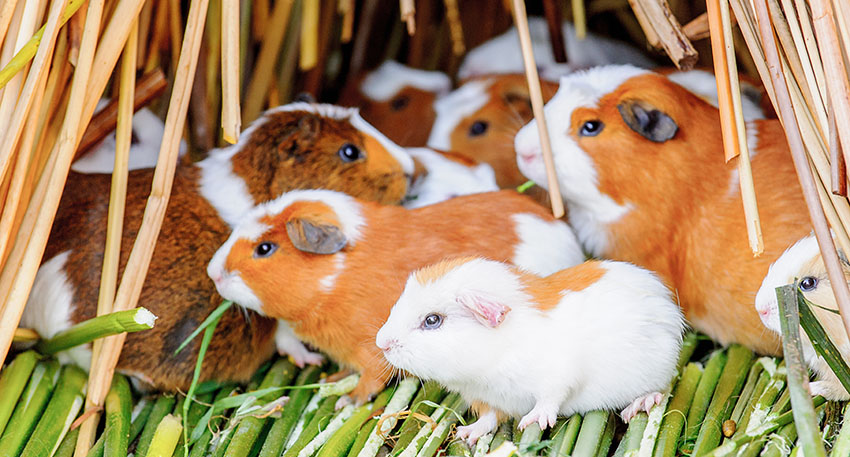 A group of guinea pigs take shelter