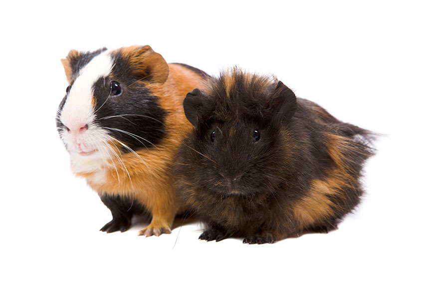 guinea pigs getting some exercise