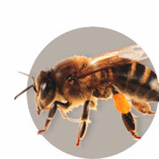Handbuch zur Bienenzucht
