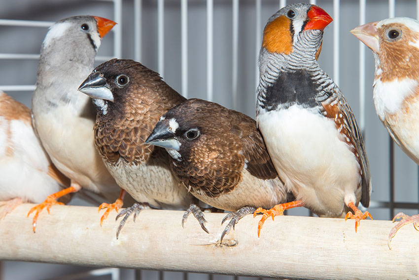 Zebra and Bengalese Finches