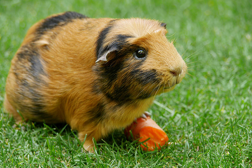 Black and red guinea pig with carrot on grass