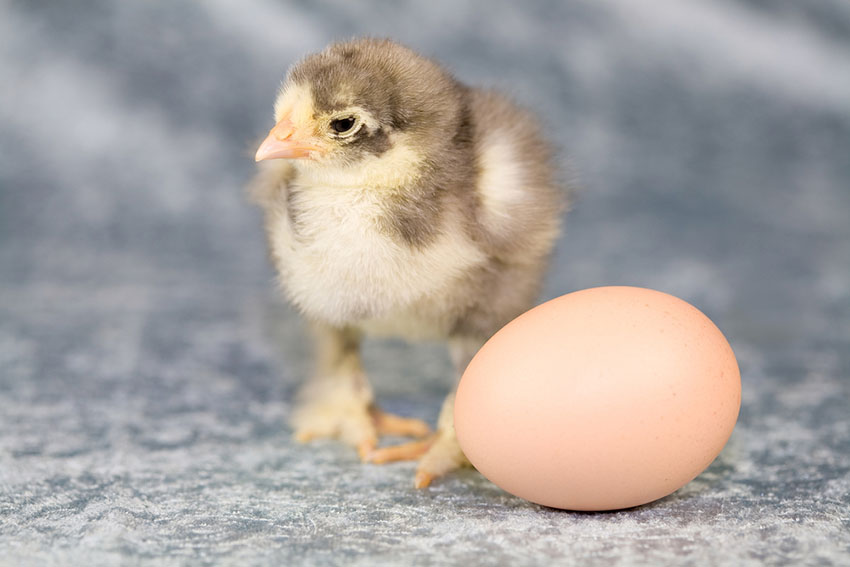 A Brahma chick next to an unhatched egg