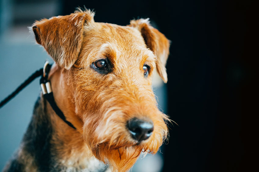 Breeds Airedale Terrier