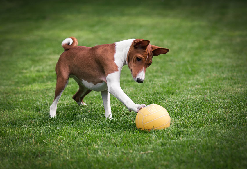 Breeds Basenji hypoallergenic dog playing ball on lawn