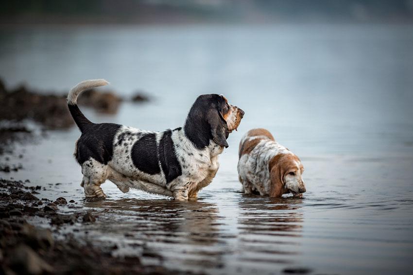 Breeds Basset Hound pair in water