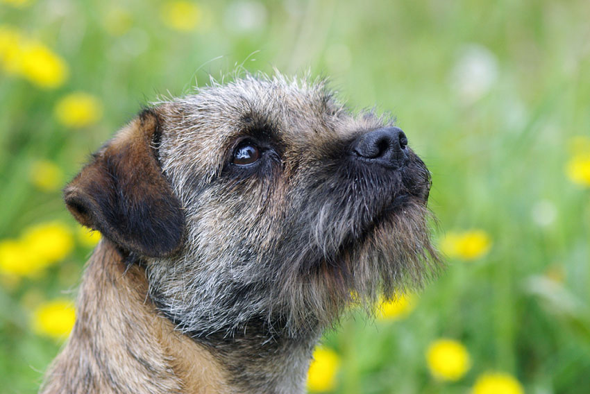 We don't know when the First Border terrier turned up in the US, but the first domestic dogs were here around 10k years ago