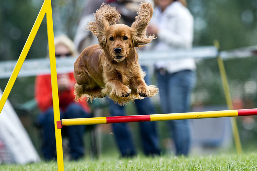 Breeds Cocker spaniel trained tricks jumping at dog show