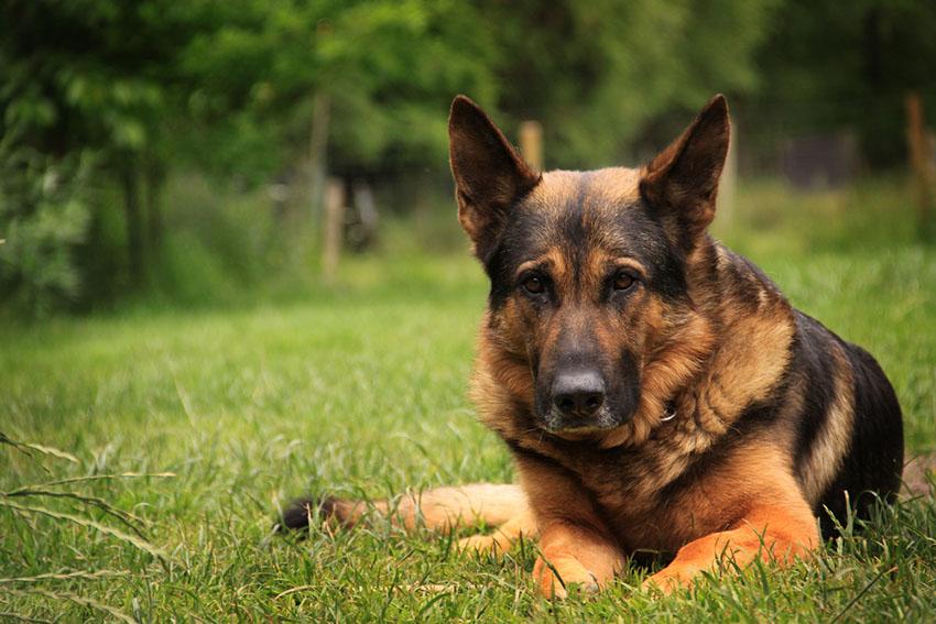 Breeds German Shepherd Alsatian outdoors lying on grass