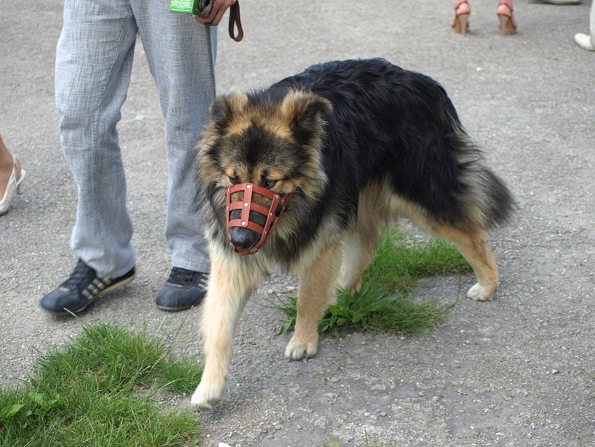 Breeds German Shepherd Alsatian wearing muzzle