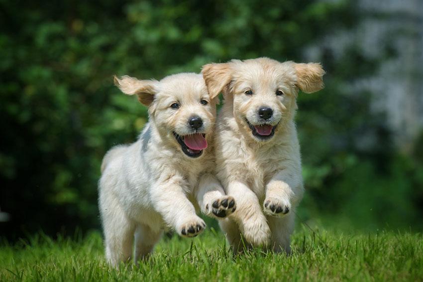 Breeds Golden Retriever puppies running outdoors