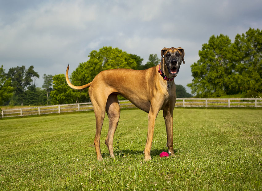 Breeds Great Dane outdoors real life Scooby Doo