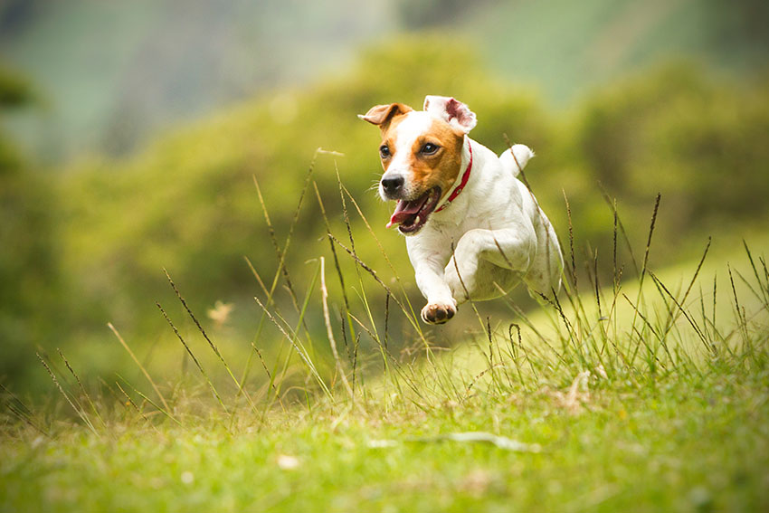 Breeds Jack Russell running at full pace