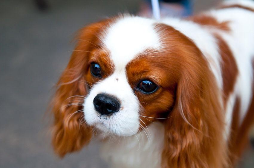 Breeds King Charles Spaniel big eyes
