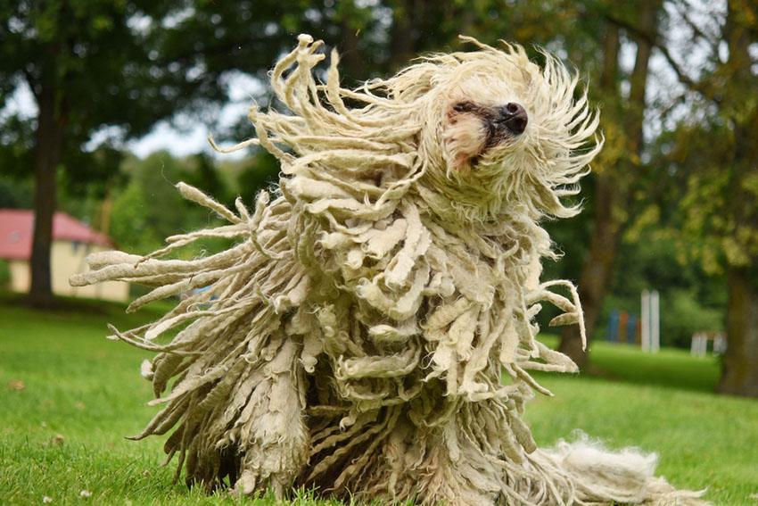 Breeds Komondor aka Mop Dog shaking corded hair dreadlocks