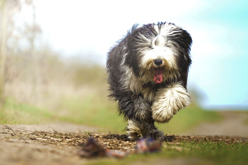 An Old English Sheepdog - the gentlest herding dog you'll ever meet
