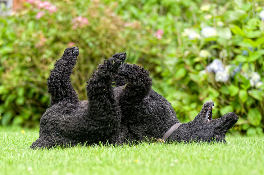 Breeds Poodle black rolling on grass curly coat