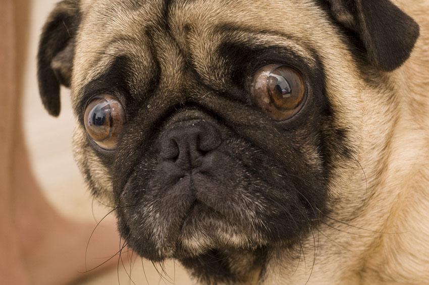 Breeds Pug or Mops face close up flat face bulging eyes