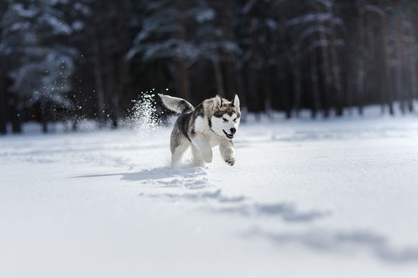 Breeds Siberian Husky running in snow