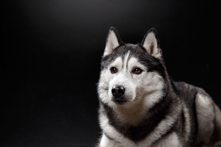 The American Kennel Club has been registering breeds such as this Siberian Husky since 1884