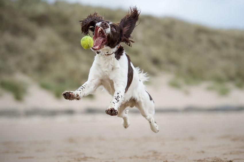 Breeds Springer Spaniel playing ball on beach