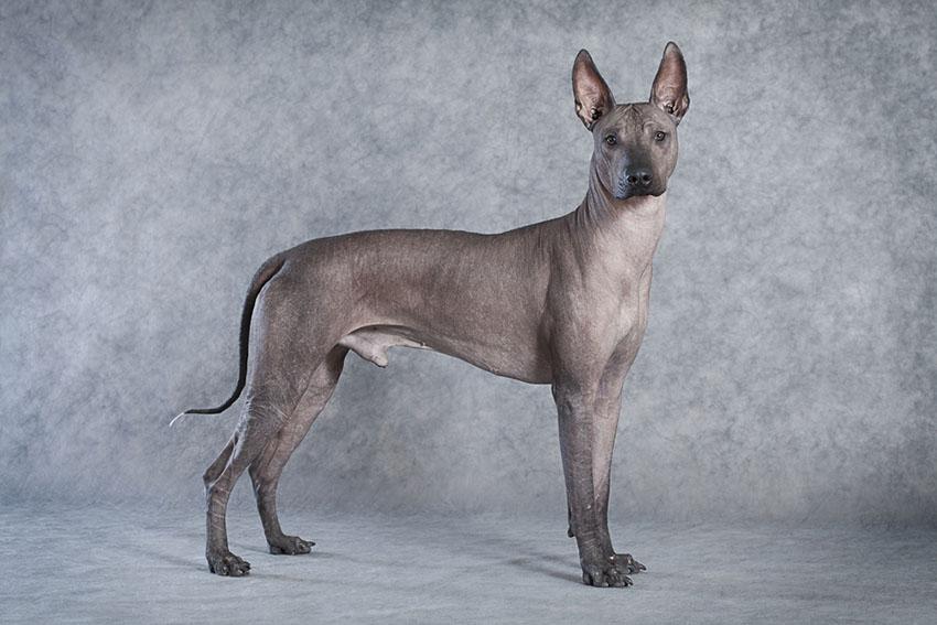 Breeds Xoloitzcuintle aka Mexican Hairless