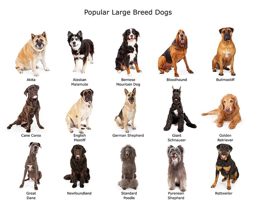 Breeds popular large purebreeds