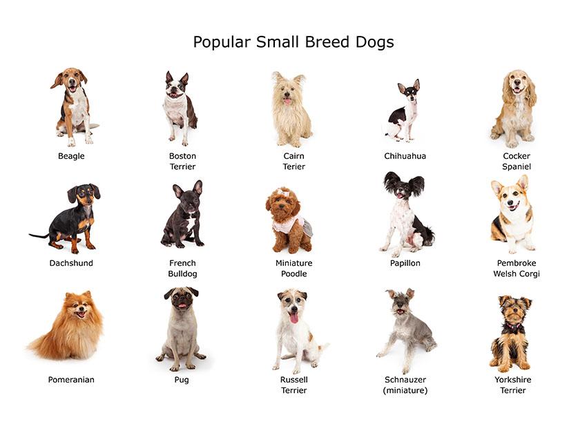 Breeds popular small purebreeds