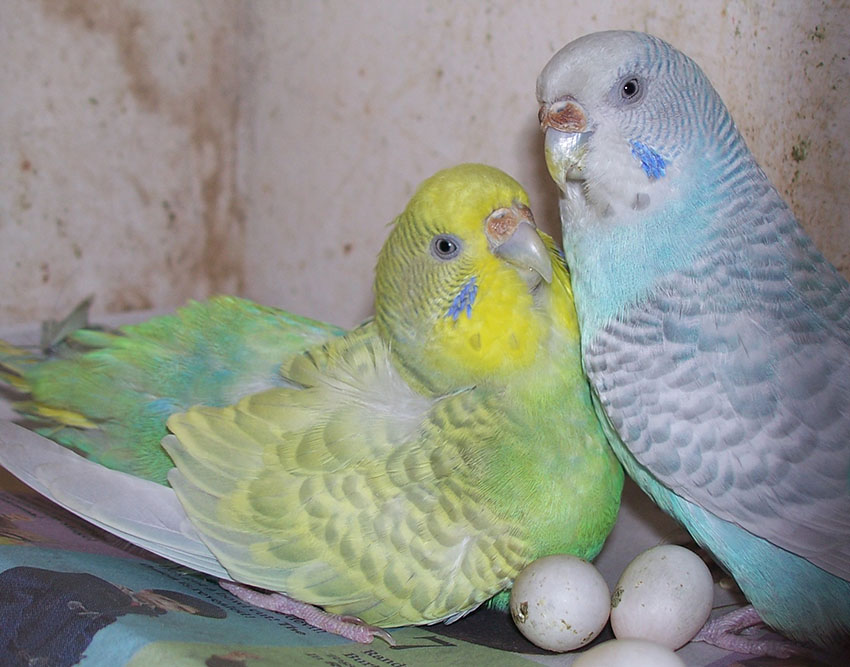 Budgie eggs nesting and breeding budgie guide guide omlet uk forumfinder Gallery